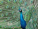 Peacock strutting its stuff