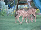 Two fawns on the playground